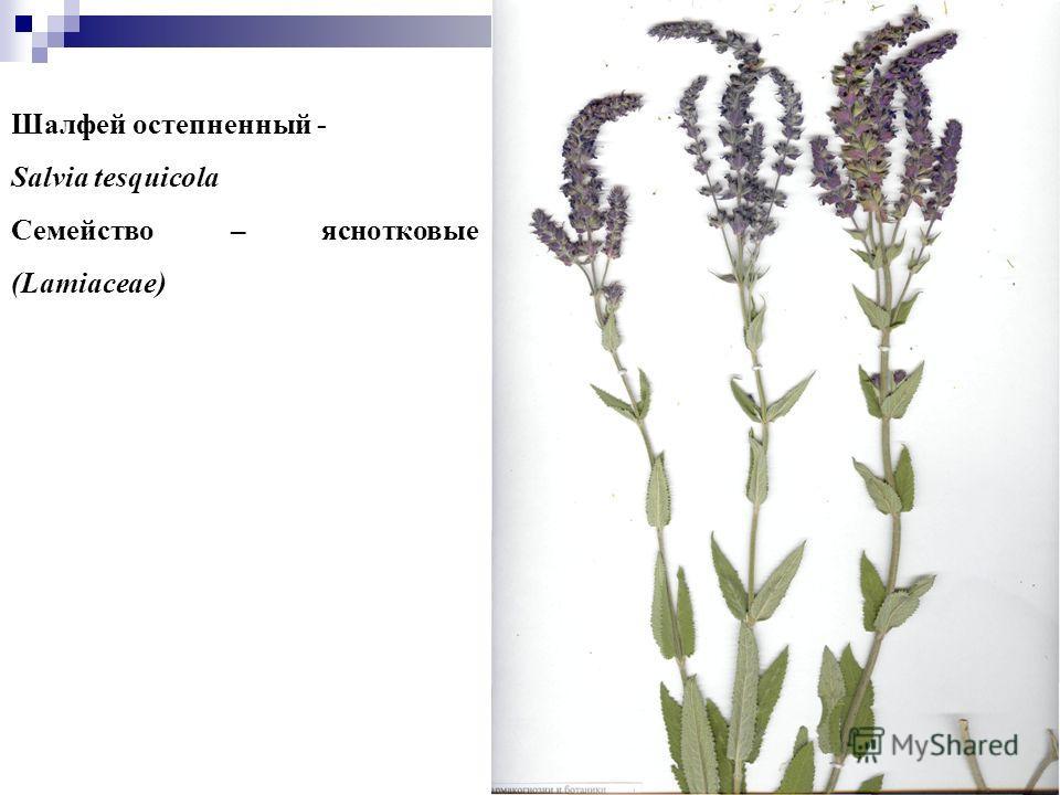11 Шалфей остепненный - Salvia tesquicola Семейство – яснотковые (Lamiaceae)