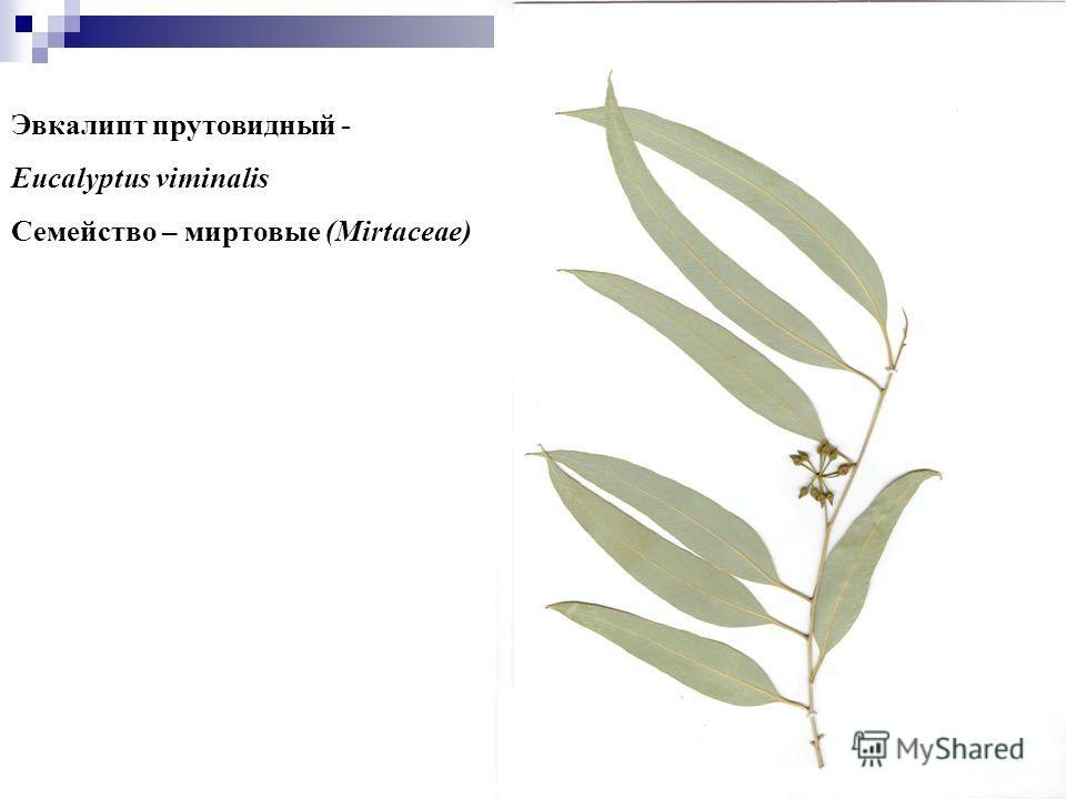 13 Эвкалипт прутовидный - Eucalyptus viminalis Семейство – миртовые (Mirtaceae)