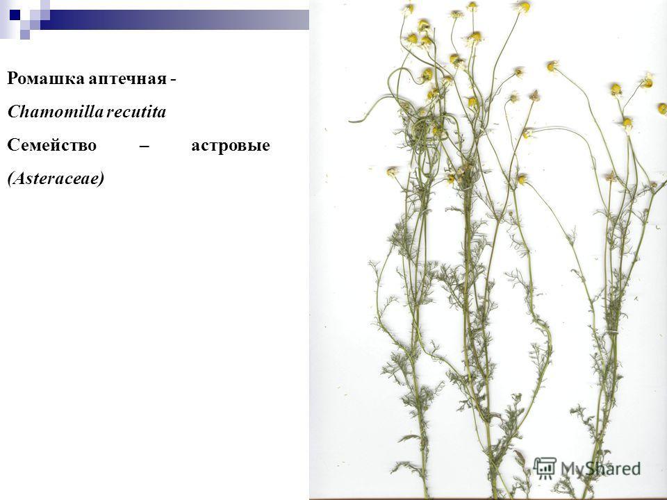 2 Ромашка аптечная - Chamomilla recutita Семейство – астровые (Asteraceae)