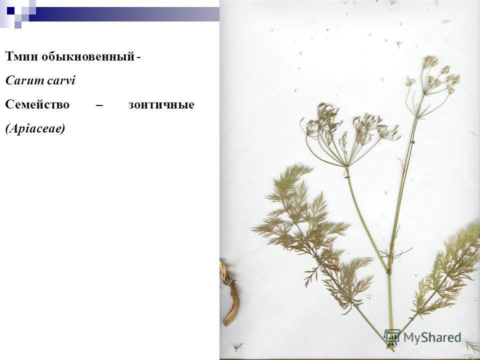 3 Тмин обыкновенный - Carum carvi Семейство – зонтичные (Apiaceae)