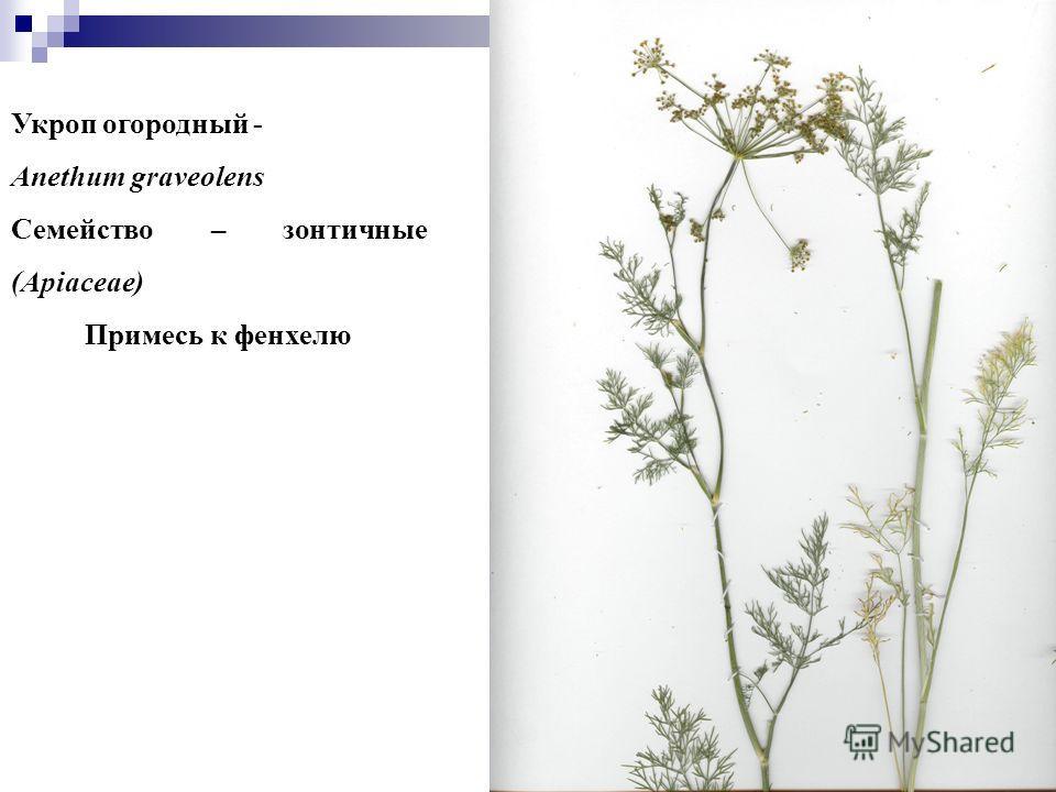 7 Укроп огородный - Anethum graveolens Семейство – зонтичные (Apiaceae) Примесь к фенхелю