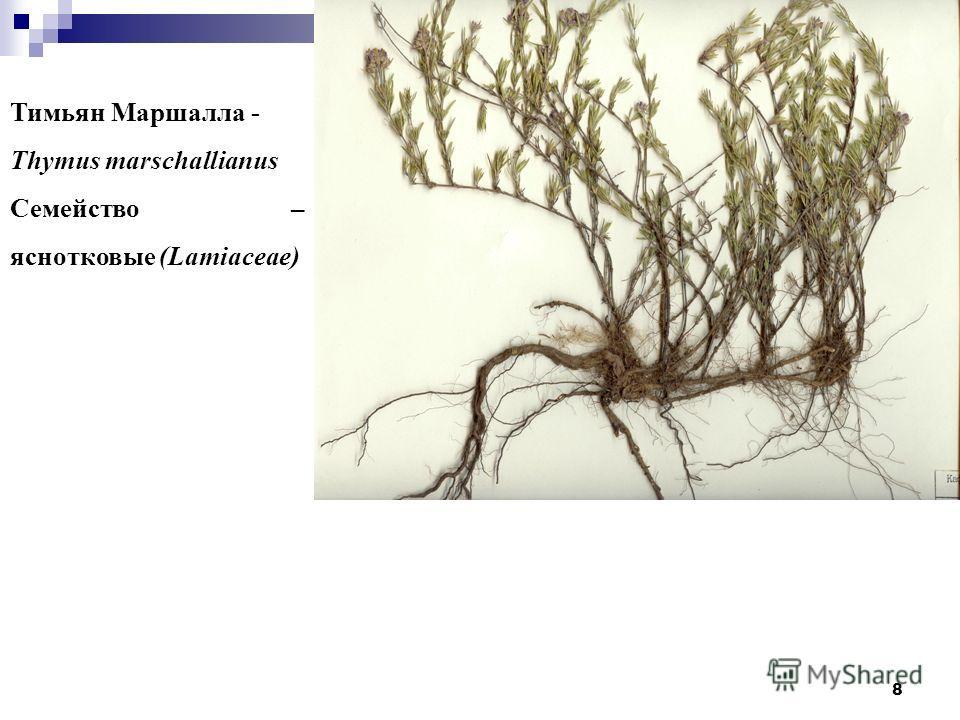 8 Тимьян Маршалла - Thymus marschallianus Семейство – яснотковые (Lamiaceae)