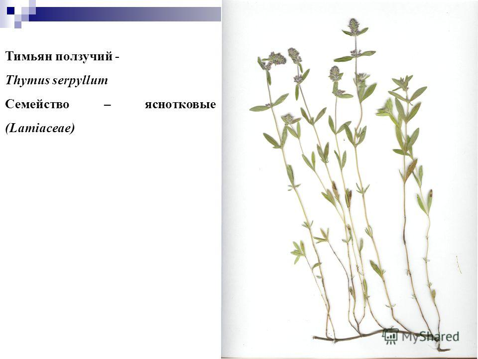 9 Тимьян ползучий - Thymus serpyllum Семейство – яснотковые (Lamiaceae)