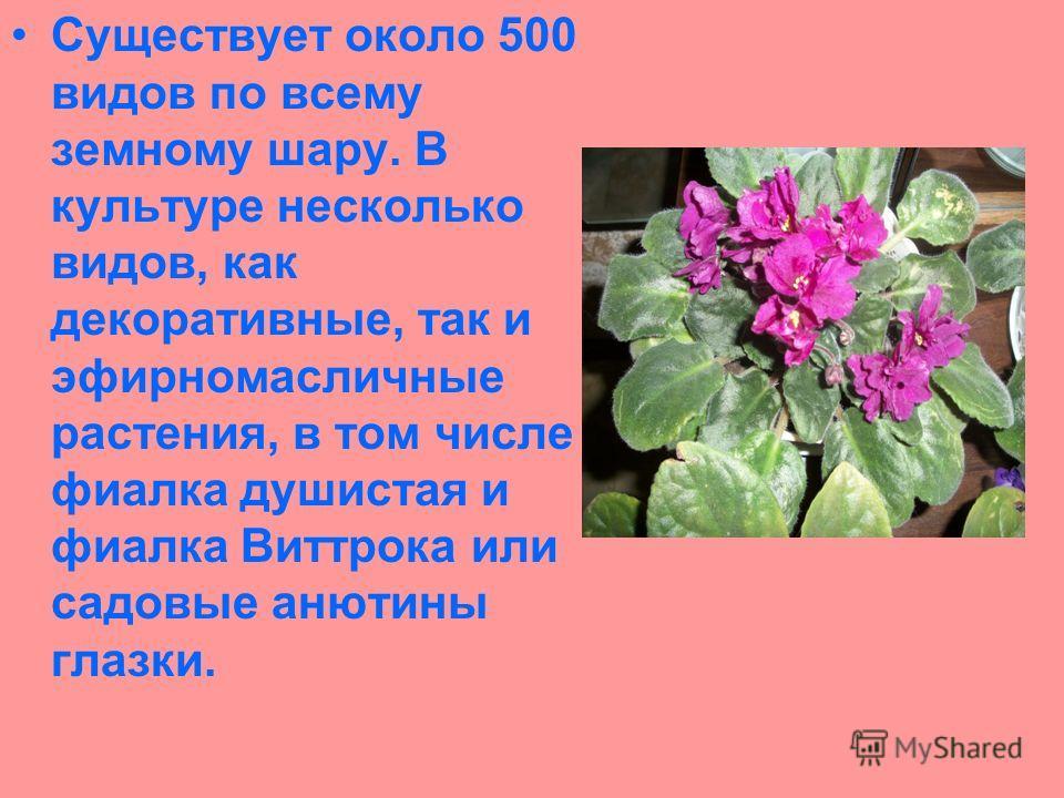 Существует около 500 видов по всему земному шару. В культуре несколько видов, как декоративные, так и эфирномасличные растения, в том числе фиалка душистая и фиалка Виттрока или садовые анютины глазки.