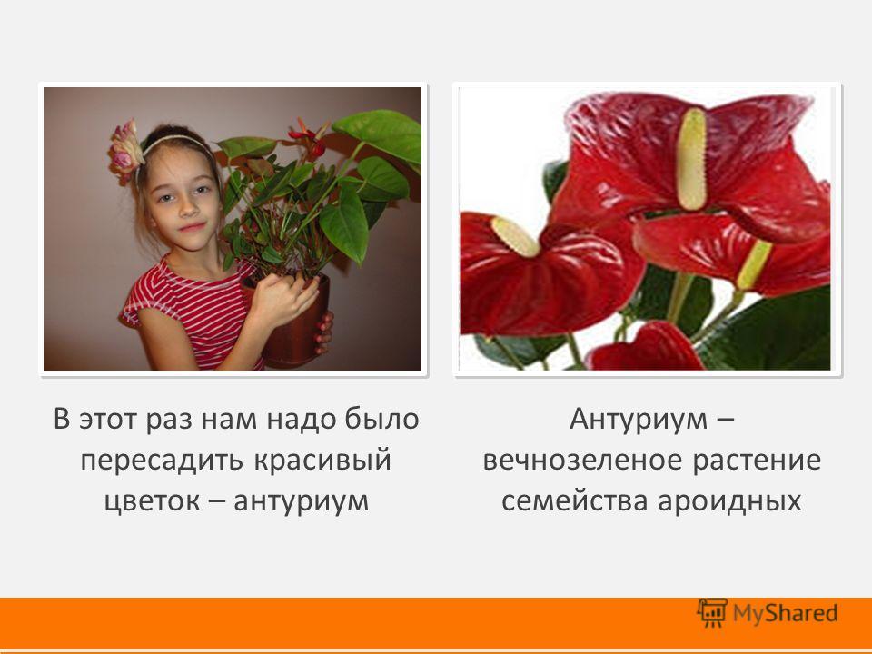 В этот раз нам надо было пересадить красивый цветок – антуриум Антуриум – вечнозеленое растение семейства ароидных