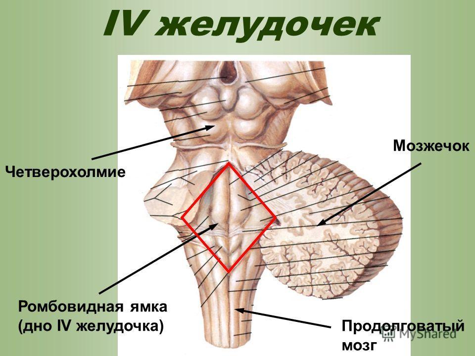 Желудочек фото