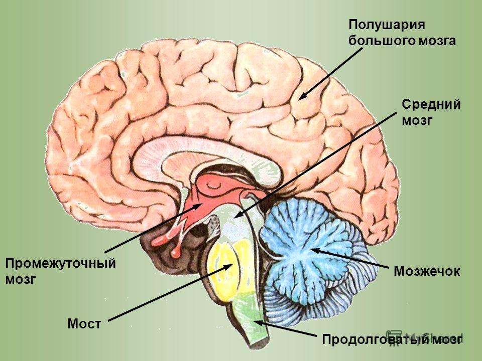 Мозг Средний