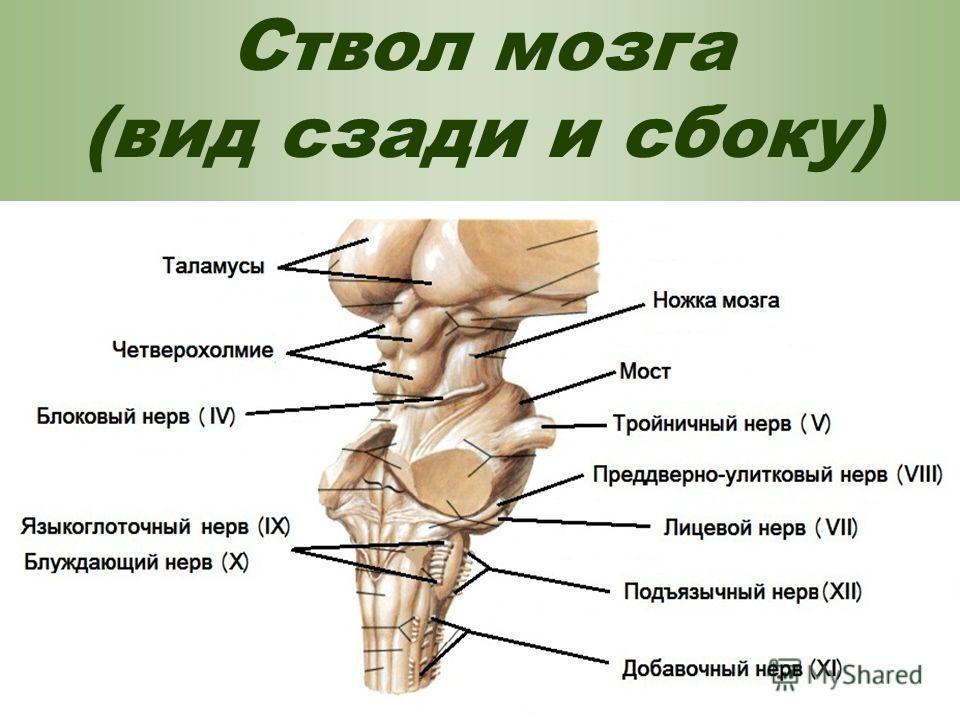 Ствол мозга (вид сзади и сбоку)