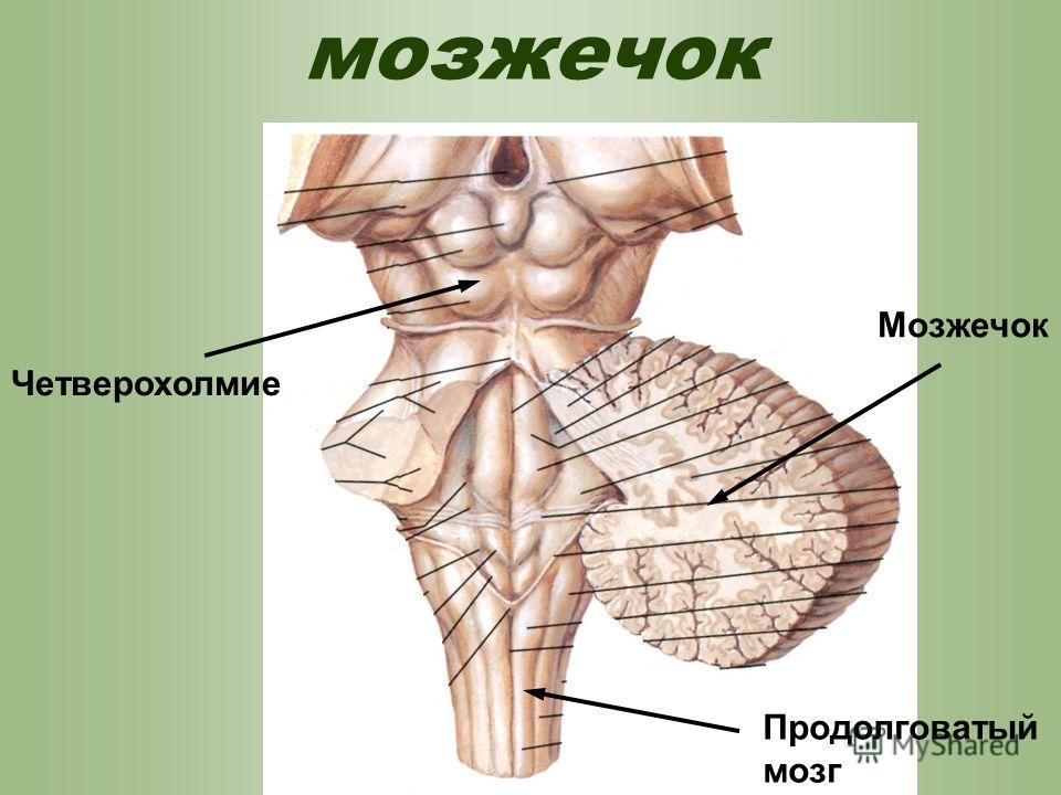 мозжечок Четверохолмие Продолговатый мозг Мозжечок