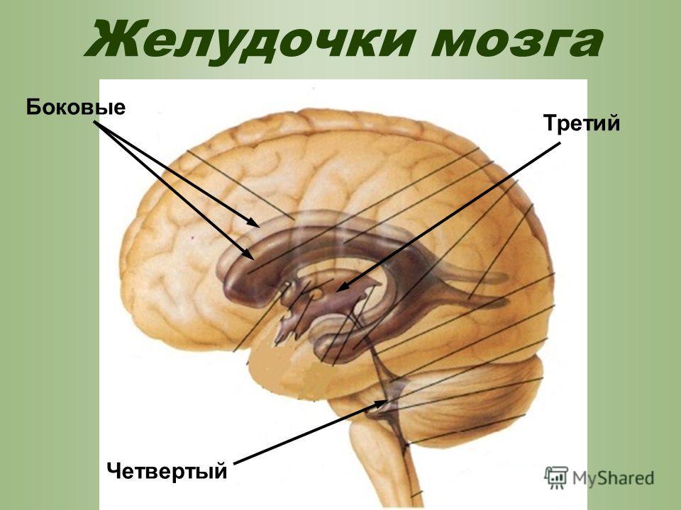 Желудочки мозга Боковые Четвертый Третий