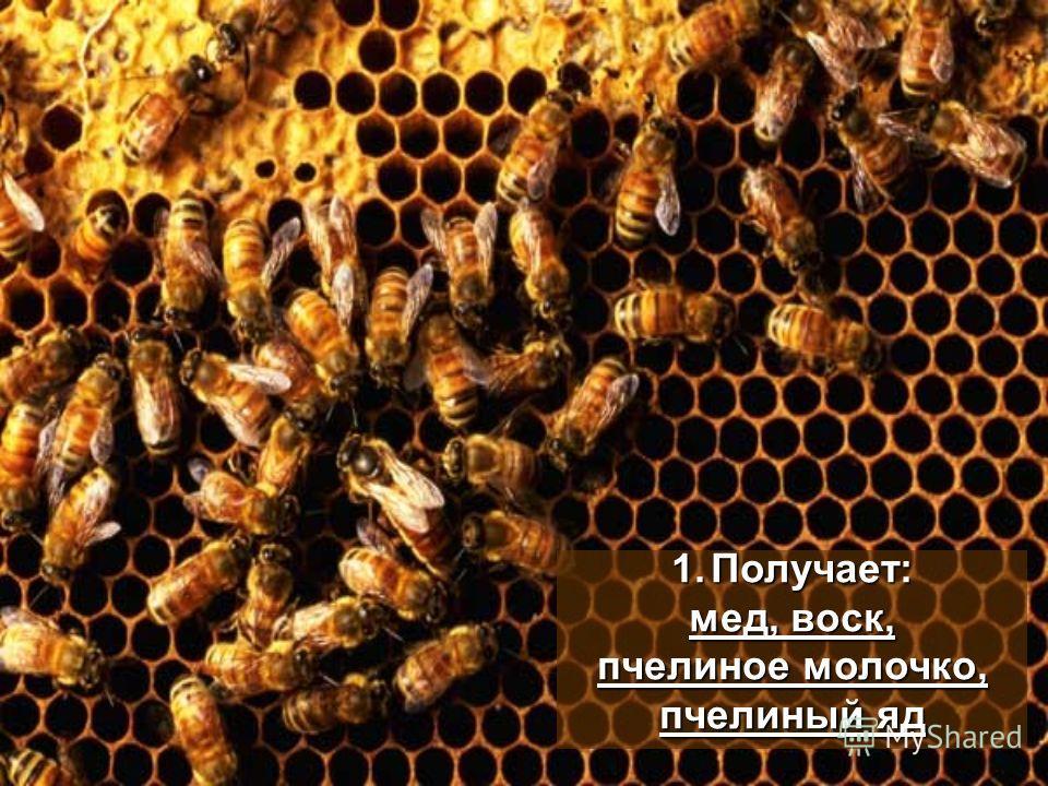 1.Получает: мед, воск, пчелиное молочко, пчелиный яд