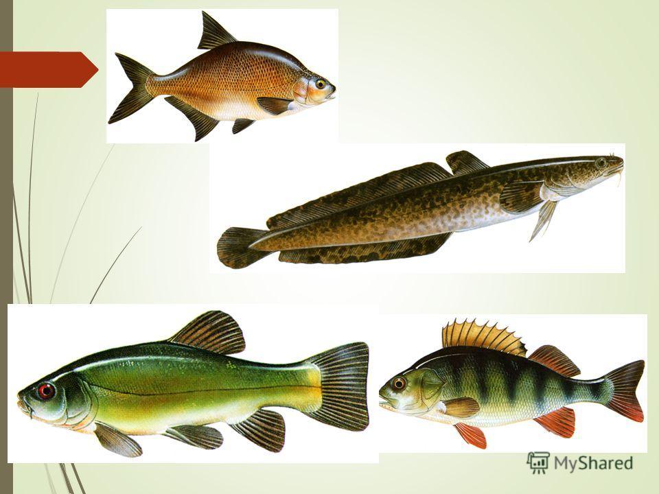 Класс костные рыбы рыбы презентация