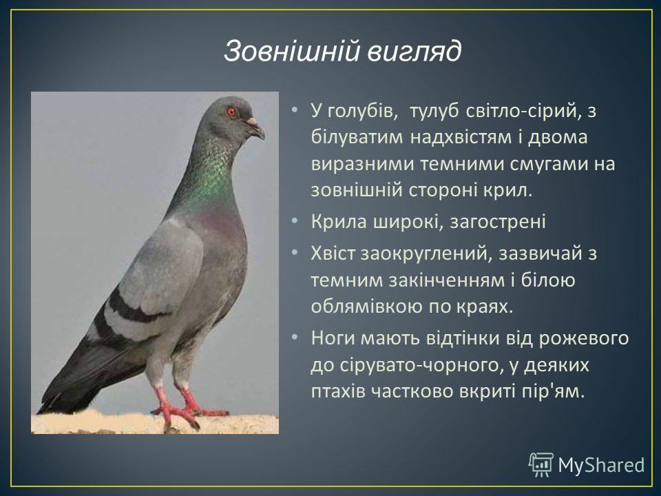 У голубів, тулуб світло - сірий, з білуватим надхвістям і двома виразними темними смугами на зовнішній стороні крил. Крила широкі, загострені Хвіст заокруглений, зазвичай з темним закінченням і білою облямівкою по краях. Ноги мають відтінки від рожев