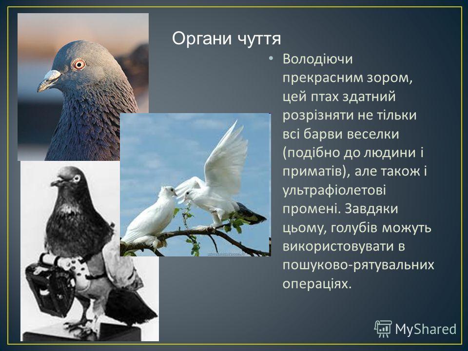 Володіючи прекрасним зором, цей птах здатний розрізняти не тільки всі барви веселки ( подібно до людини і приматів ), але також і ультрафіолетові промені. Завдяки цьому, голубів можуть використовувати в пошуково - рятувальних операціях. Органи чуття
