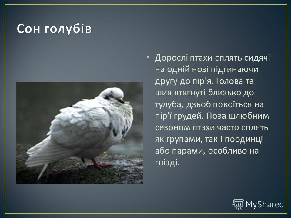 Дорослі птахи сплять сидячі на одній нозі підгинаючи другу до пір ' я. Голова та шия втягнуті близько до тулуба, дзьоб покоїться на пір ' ї грудей. Поза шлюбним сезоном птахи часто сплять як групами, так і поодинці або парами, особливо на гнізді.