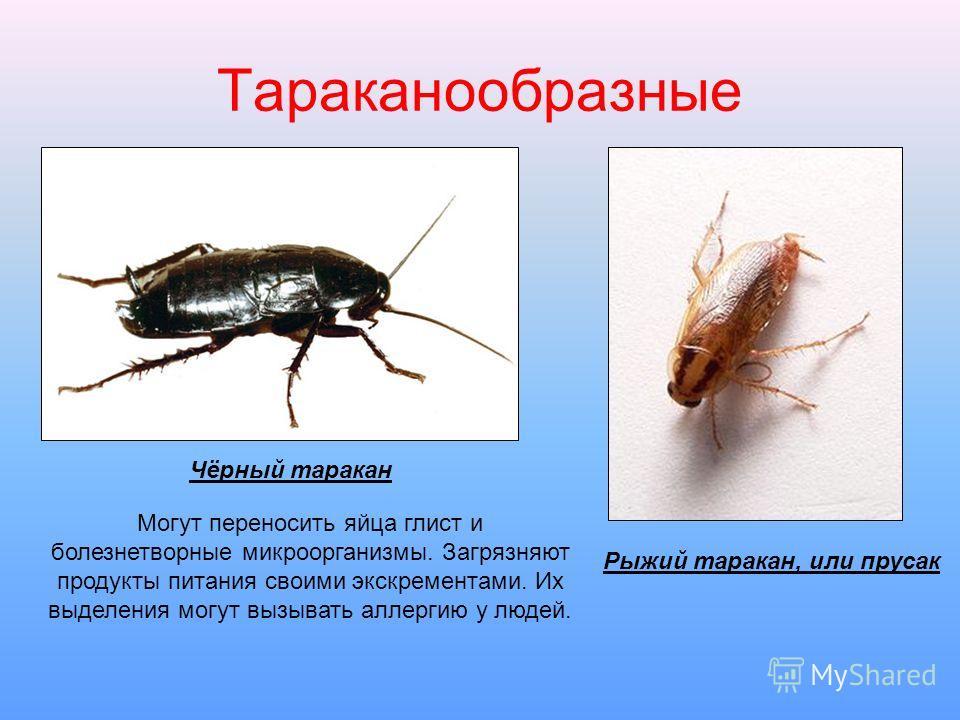 Тараканообразные Чёрный таракан Рыжий таракан, или прусак Могут переносить яйца глист и болезнетворные микроорганизмы. Загрязняют продукты питания своими экскрементами. Их выделения могут вызывать аллергию у людей.