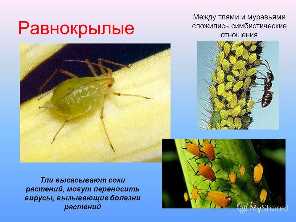 Равнокрылые Тли высасывают соки растений, могут переносить вирусы, вызывающие болезни растений Между тлями и муравьями сложились симбиотические отношения
