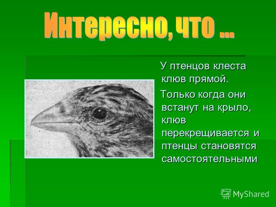 У птенцов клеста клюв прямой. У птенцов клеста клюв прямой. Только когда они встанут на крыло, клюв перекрещивается и птенцы становятся самостоятельными Только когда они встанут на крыло, клюв перекрещивается и птенцы становятся самостоятельными