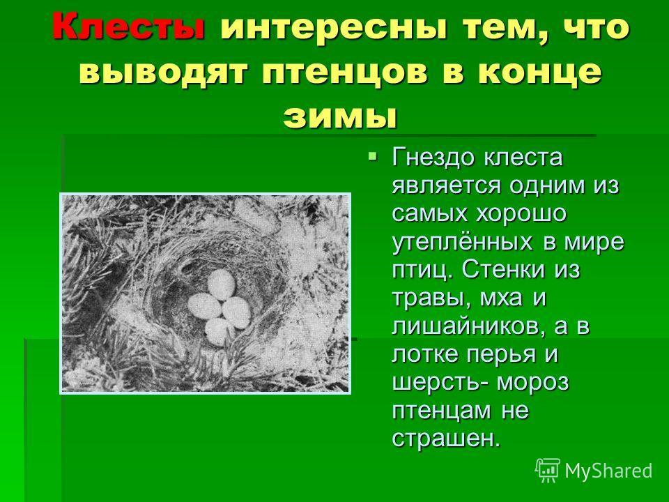 Клесты интересны тем, что выводят птенцов в конце зимы Гнездо клеста является одним из самых хорошо утеплённых в мире птиц. Стенки из травы, мха и лишайников, а в лотке перья и шерсть- мороз птенцам не страшен. Гнездо клеста является одним из самых х