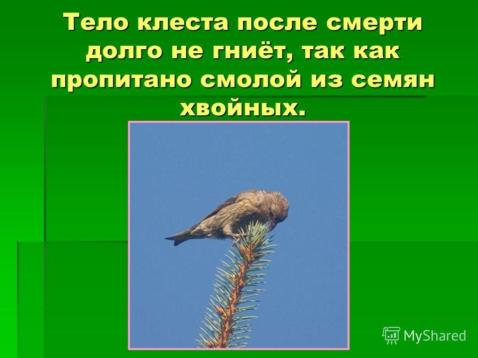 Тело клеста после смерти долго не гниёт, так как пропитано смолой из семян хвойных.
