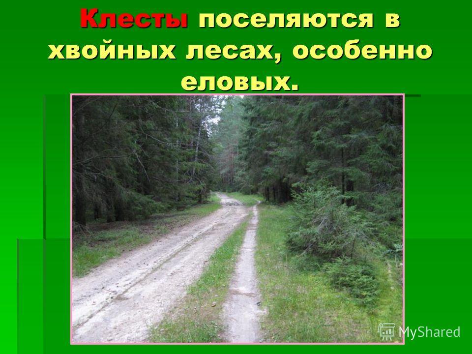 Клесты поселяются в хвойных лесах, особенно еловых.