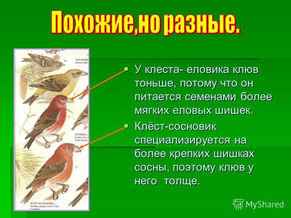 У клеста- еловика клюв тоньше, потому что он питается семенами более мягких еловых шишек. Клёст-сосновик специализируется на более крепких шишках сосны, поэтому клюв у него толще.
