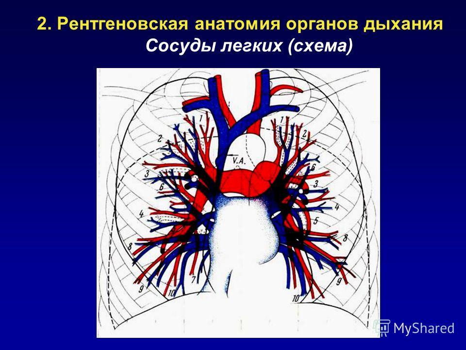 2. Рентгеновская анатомия органов дыхания Сосуды легких (схема)