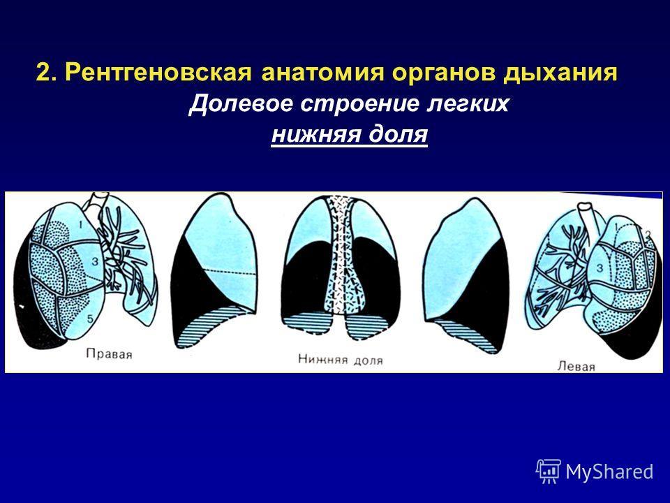 2. Рентгеновская анатомия органов дыхания Долевое строение легких нижняя доля