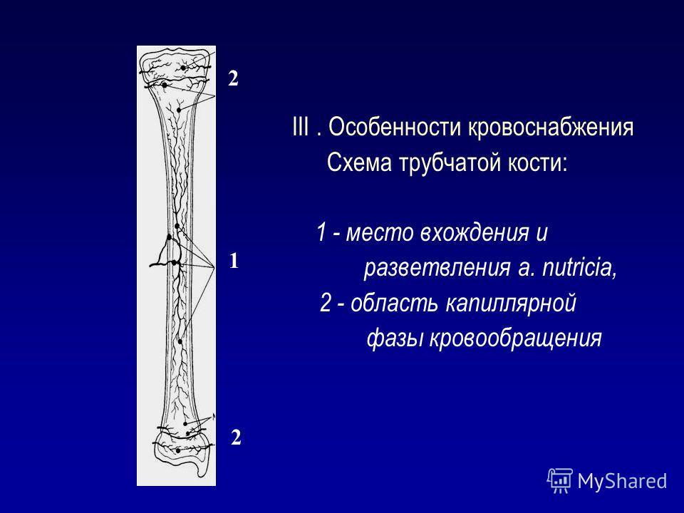 III. Особенности кровоснабжения Схема трубчатой кости: 1 - место вхождения и разветвления а. nutricia, 2 - область капиллярной фазы кровообращения 1 2 2