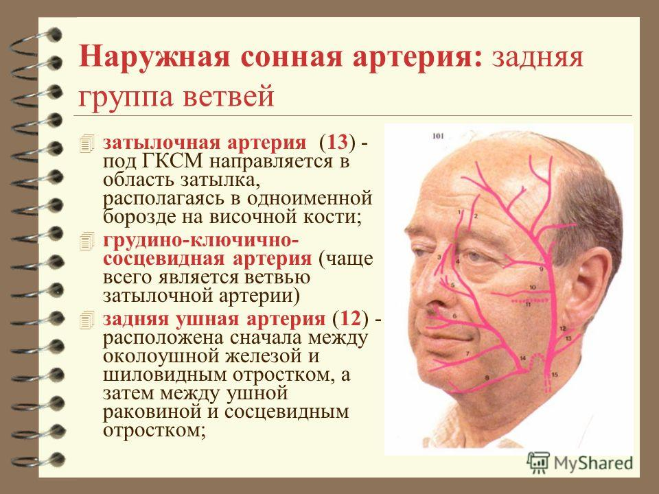 Наружная сонная артерия: задняя группа ветвей 4 затылочная артерия (13) - под ГКСМ направляется в область затылка, располагаясь в одноименной борозде на височной кости; 4 грудино-ключично- сосцевидная артерия (чаще всего является ветвью затылочной ар
