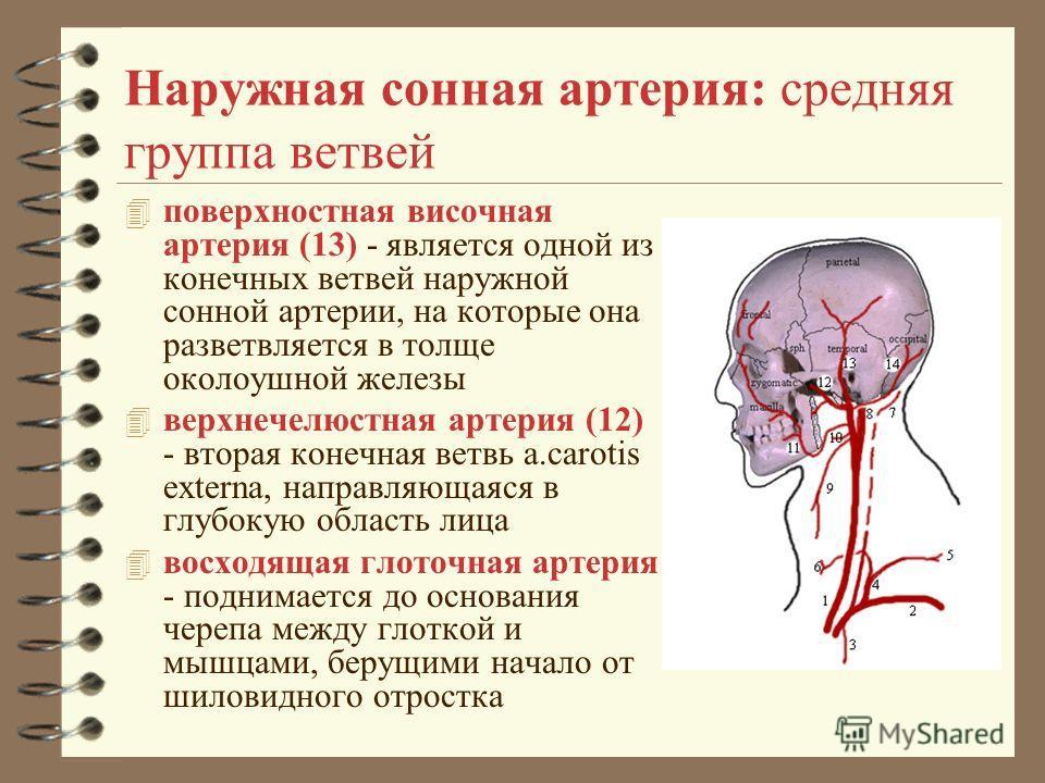Наружная сонная артерия: средняя группа ветвей 4 поверхностная височная артерия (13) - является одной из конечных ветвей наружной сонной артерии, на которые она разветвляется в толще околоушной железы 4 верхнечелюстная артерия (12) - вторая конечная