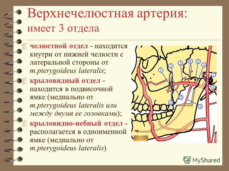 Верхнечелюстная артерия: имеет 3 отдела 4 челюстной отдел - находится кнутри от нижней челюсти с латеральной стороны от m.pterygoideus lateralis; 4 крыловидный отдел - находится в подвисочной ямке (медиально от m.pterygoideus lateralis или между двум