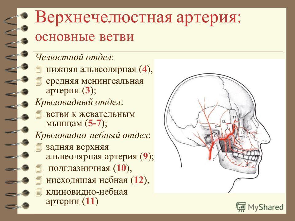 Верхнечелюстная артерия: основные ветви Челюстной отдел: 4 нижняя альвеолярная (4), 4 средняя менингеальная артерии (3); Крыловидный отдел: 4 ветви к жевательным мышцам (5-7); Крыловидно-небный отдел: 4 задняя верхняя альвеолярная артерия (9); 4 подг