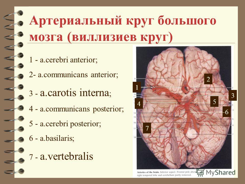 Артериальный круг большого мозга (виллизиев круг) 1 - a.cerebri anterior; 2- a.communicans anterior; 3 - a.carotis interna ; 4 - a.communicans posterior; 5 - a.cerebri posterior; 6 - a.basilaris; 7 - a.vertebralis 21 2 7 3 4 6 5