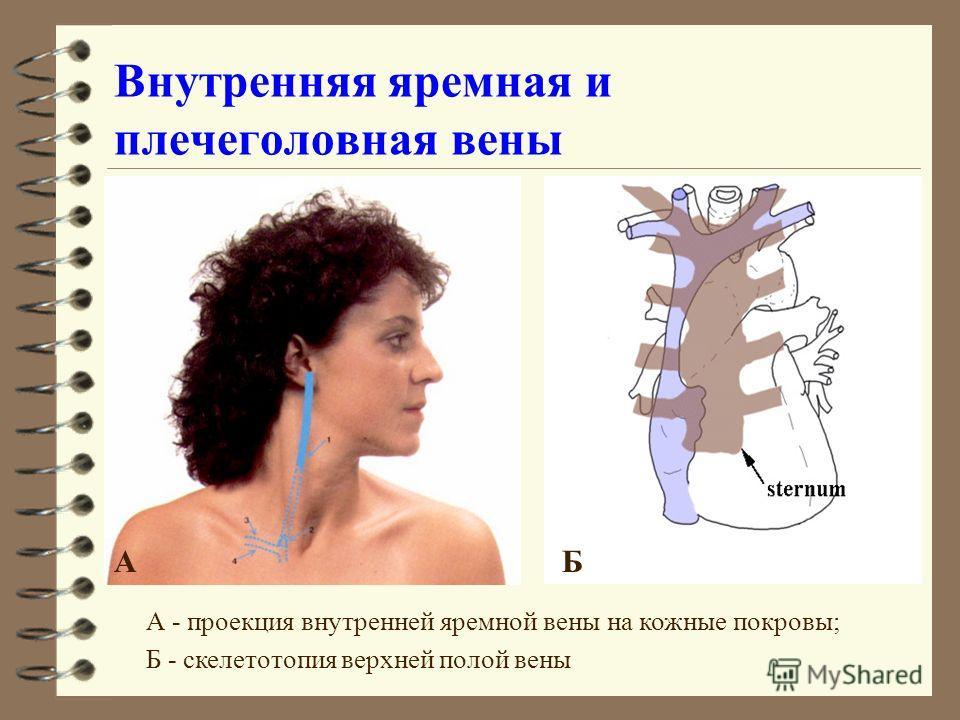 Внутренняя яремная и плечеголовная вены АБ А - проекция внутренней яремной вены на кожные покровы; Б - скелетотопия верхней полой вены