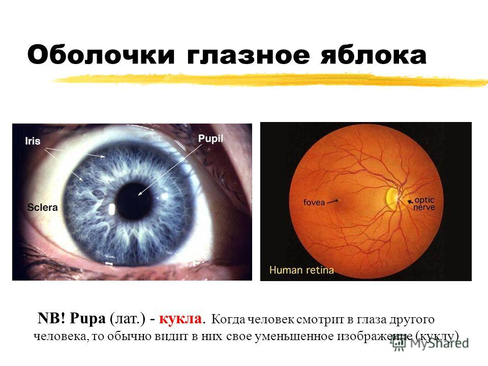 Оболочки глазное яблока NB! Pupa (лат.) - кукла. Когда человек смотрит в глаза другого человека, то обычно видит в них свое уменьшенное изображение (куклу)