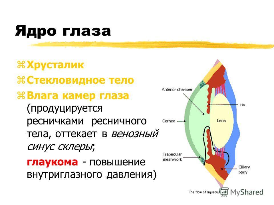 Ядро глаза zХрусталик zСтекловидное тело zВлага камер глаза (продуцируется ресничками ресничного тела, оттекает в венозный синус склеры; глаукома - повышение внутриглазного давления)
