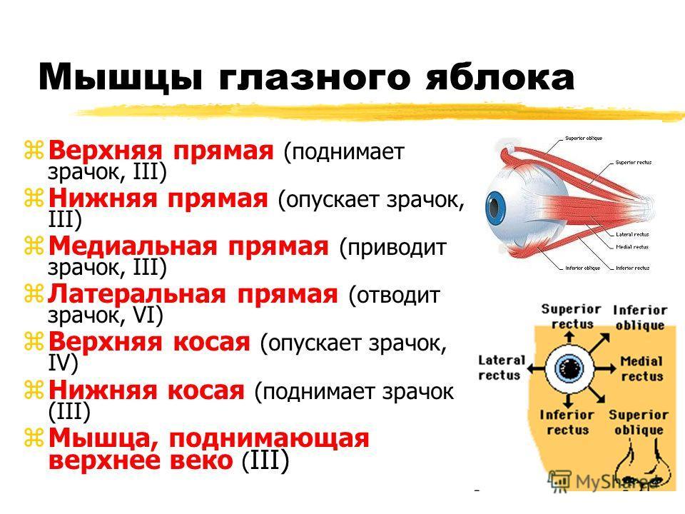 Мышцы глазного яблока zВерхняя прямая (поднимает зрачок, III) zНижняя прямая (опускает зрачок, III) zМедиальная прямая (приводит зрачок, III) zЛатеральная прямая (отводит зрачок, VI) zВерхняя косая (опускает зрачок, IV) zНижняя косая (поднимает зрачо