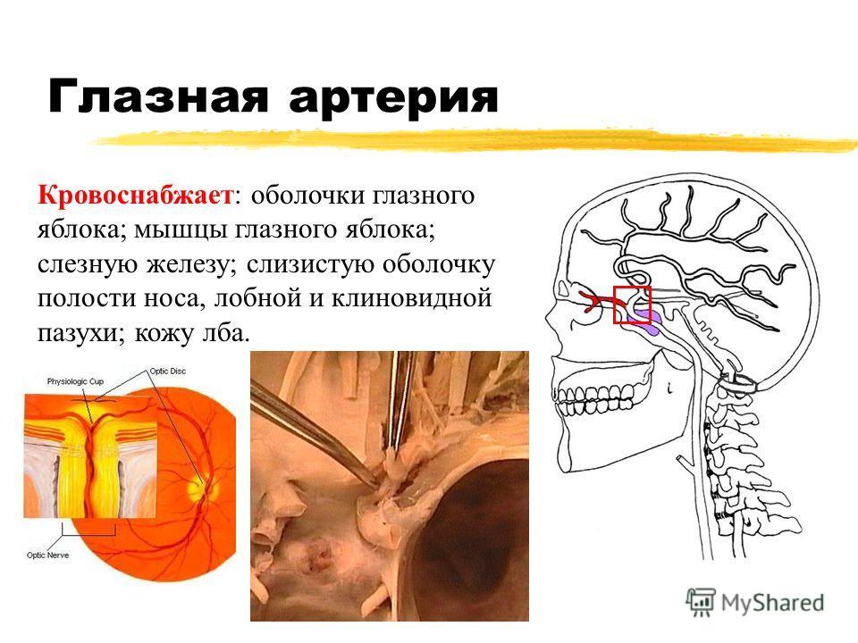 Глазная артерия Кровоснабжает: оболочки глазного яблока; мышцы глазного яблока; слезную железу; слизистую оболочку полости носа, лобной и клиновидной пазухи; кожу лба.