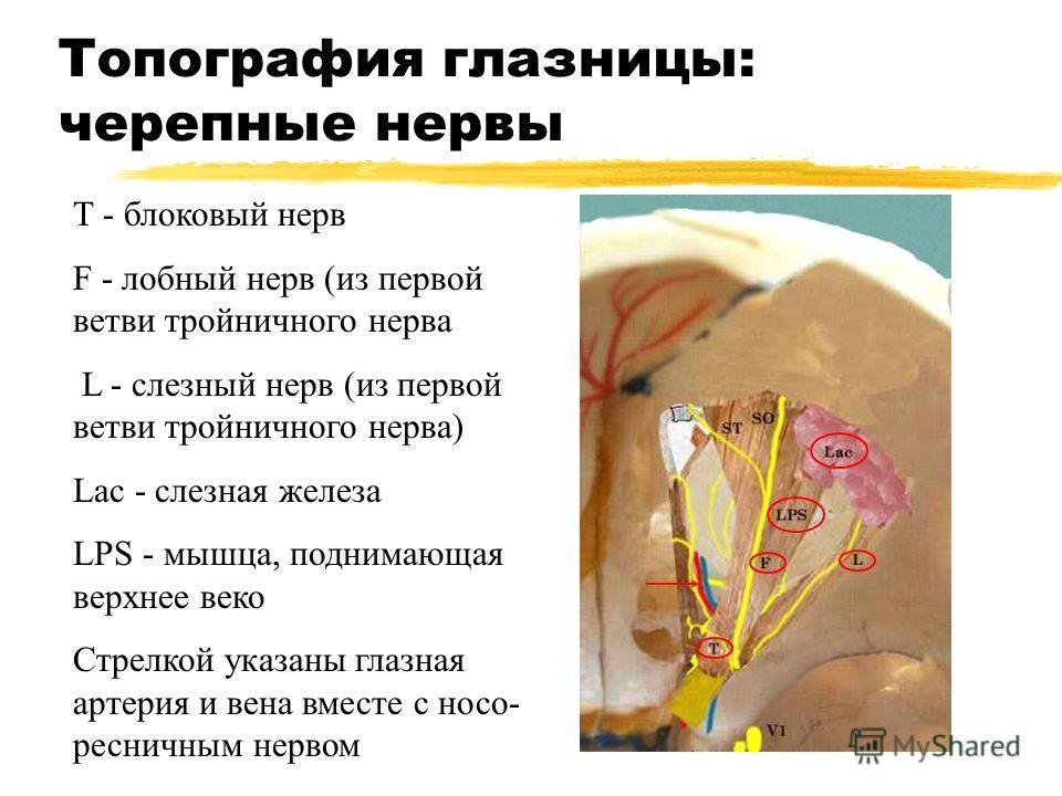 Топография глазницы: черепные нервы Т - блоковый нерв F - лобный нерв (из первой ветви тройничного нерва L - слезный нерв (из первой ветви тройничного нерва) Lac - слезная железа LPS - мышца, поднимающая верхнее веко Стрелкой указаны глазная артерия