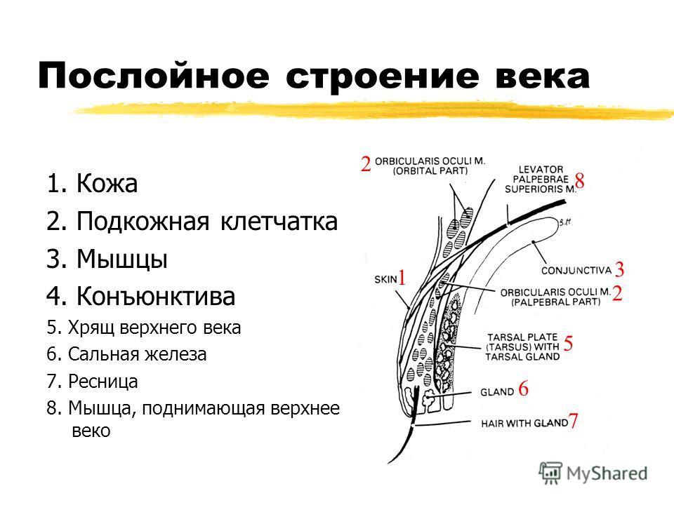 Послойное строение века 1. Кожа 2. Подкожная клетчатка 3. Мышцы 4. Конъюнктива 5. Хрящ верхнего века 6. Сальная железа 7. Ресница 8. Мышца, поднимающая верхнее веко 1 2 2 3 5 6 7 8
