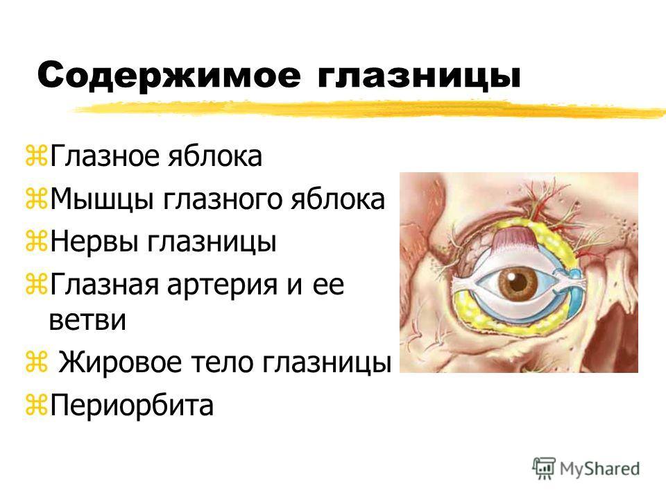 Содержимое глазницы zГлазное яблока zМышцы глазного яблока zНервы глазницы zГлазная артерия и ее ветви z Жировое тело глазницы zПериорбита