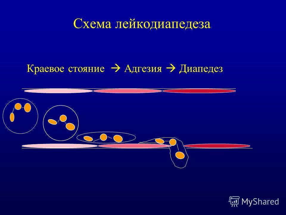 Схема лейкодиапедеза Краевое стояние Адгезия Диапедез