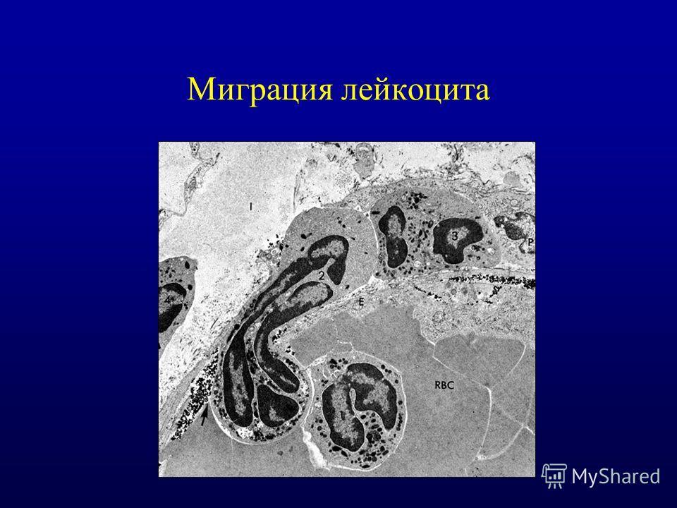 Миграция лейкоцита