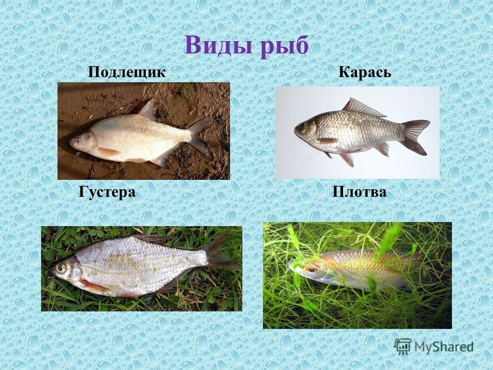 Виды рыб Подлещик Карась Густера Плотва