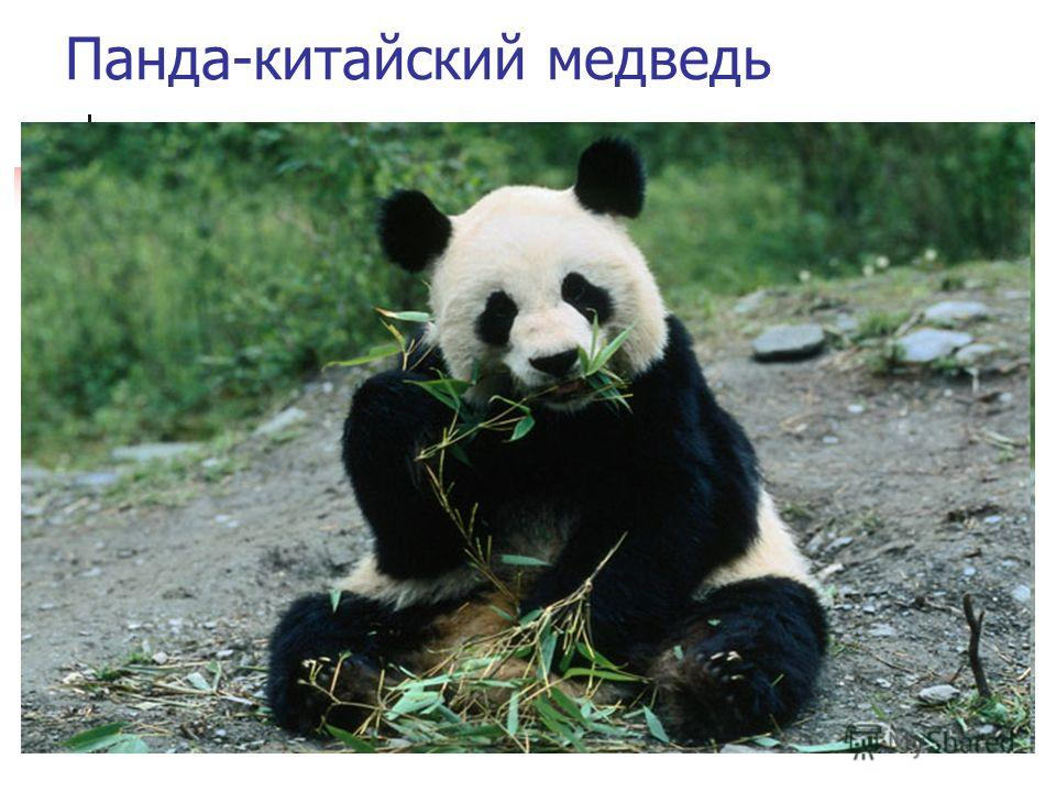 Панда-китайский медведь