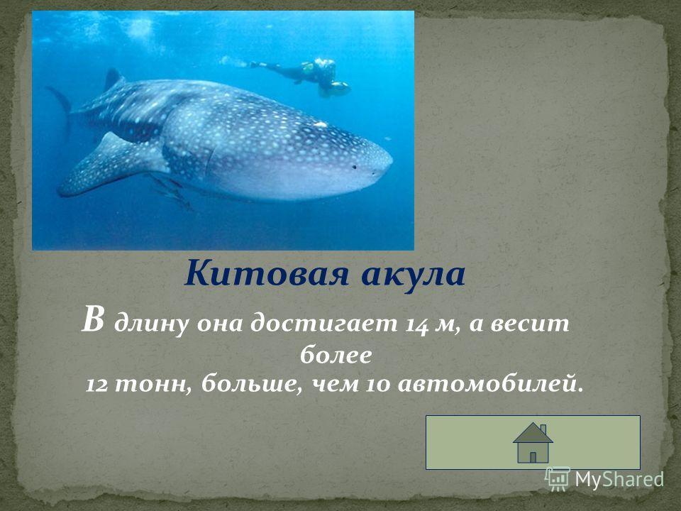 Китовая акула В длину она достигает 14 м, а весит более 12 тонн, больше, чем 10 автомобилей.