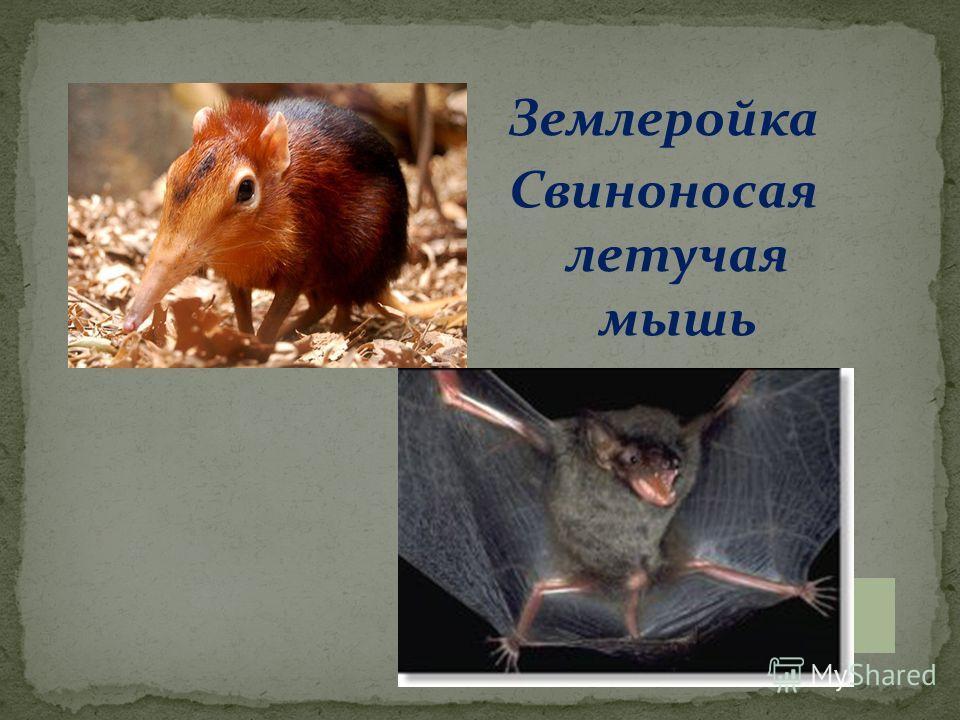 Землеройка Свиноносая летучая мышь