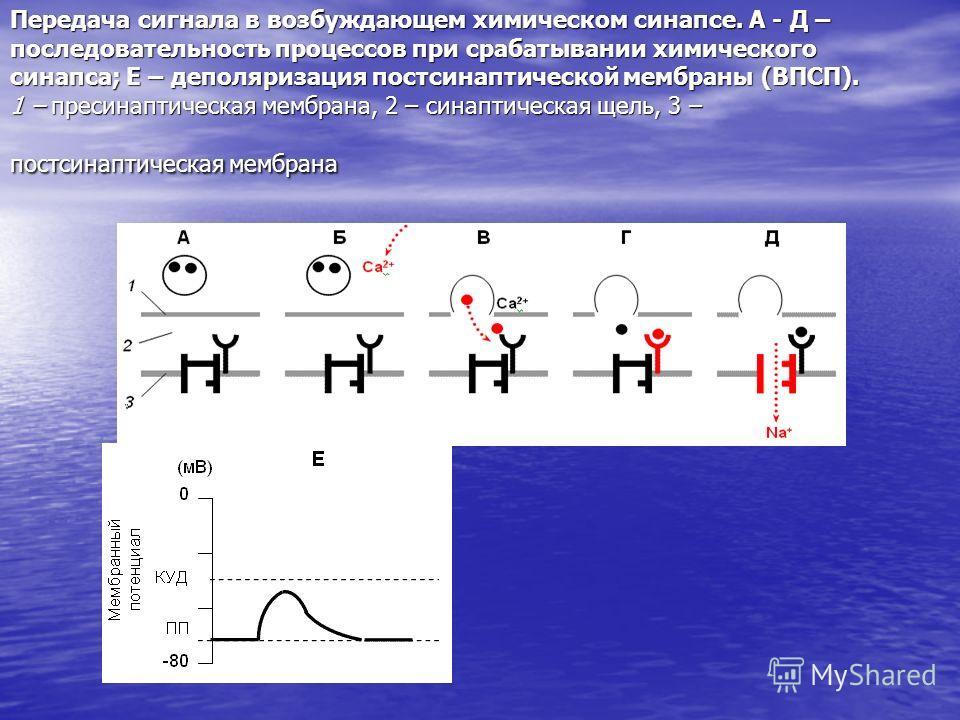 Передача сигнала в возбуждающем химическом синапсе. А - Д – последовательность процессов при срабатывании химического синапса; Е – деполяризация постсинаптической мембраны (ВПСП). 1 – пресинаптическая мембрана, 2 – синаптическая щель, 3 – постсинапти
