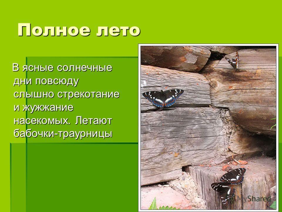 Полное лето В ясные солнечные дни повсюду слышно стрекотание и жужжание насекомых. Летают бабочки-траурницы В ясные солнечные дни повсюду слышно стрекотание и жужжание насекомых. Летают бабочки-траурницы